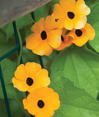 Thunbergia, Alata Mix 1 Pkt. (40 seeds) Annuals, Annual, Annual Flowers, Annual Flower Seeds, Seeds, Flower Seeds, Cottage Garden Flowers