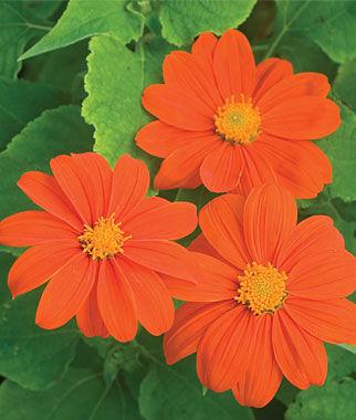 Tithonia, Sundance 1 Pkt. (50 seeds) Annuals, Annual, Annual Flowers, Annual Flower Seeds, Seeds, Flower Seeds, Cottage Garden Flowers