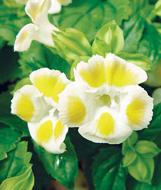 Torenia, Lemon Drop Hybrid 1 Pkt. (50 seeds) Annuals, Annual, Annual Flowers, Annual Flower Seeds, Seeds, Flower Seeds, Cottage Garden Flowers