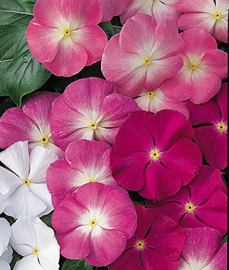 Vinca, Arizona Mix 1 Pkt. (50 seeds) Annuals, Annual, Annual Flowers, Annual Flower Seeds, Seeds, Flower Seeds, Cottage Garden Flowers