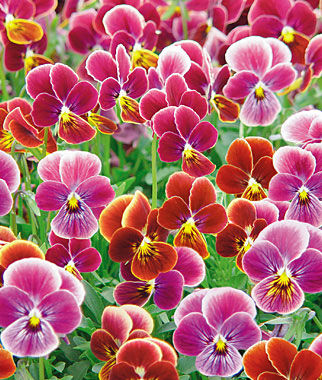 Viola, Psychedelic Spring 1 Pkt. (35 seeds) Annuals, Annual, Annual Flowers, Annual Flower Seeds, Seeds, Flower Seeds, Cottage Garden Flowers