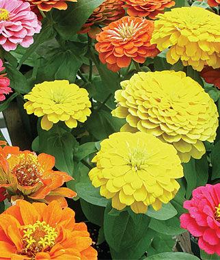 Zinnia, Border Beauty Mix Hybrid 1 Pkt. (50 seeds) Annuals, Annual, Annual Flowers, Annual Flower Seeds, Seeds, Flower Seeds, Cottage Garden Flowers