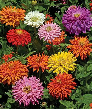Zinnia, Burpeeana Giants Mix 1 Pkt. (50 seeds) Annuals, Annual, Annual Flowers, Annual Flower Seeds, Seeds, Flower Seeds, Cottage Garden Flowers