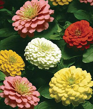 Zinnia, Burpee's Big Tetra Mix 1 Pkt. (65 seeds) Annuals, Annual, Annual Flowers, Annual Flower Seeds, Seeds, Flower Seeds, Cottage Garden Flowers