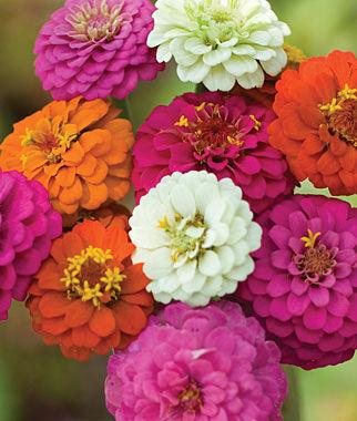 Zinnia, Cut & Come Again Mix 1 Pkt. (375 seeds) Annuals, Annual, Annual Flowers, Annual Flower Seeds, Seeds, Flower Seeds, Cottage Garden Flowers