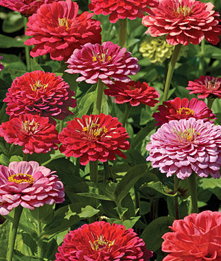 Zinnia, Exquisite 1 Pkt. (100 seeds) Annuals, Annual, Annual Flowers, Annual Flower Seeds, Seeds, Flower Seeds, Cottage Garden Flowers
