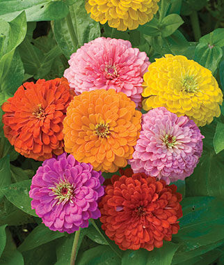 Zinnia, Giant Flowered Mixed Colors 1 Pkt. (150 seeds) Annuals, Annual, Annual Flowers, Annual Flower Seeds, Seeds, Flower Seeds, Cottage Garden Flowers
