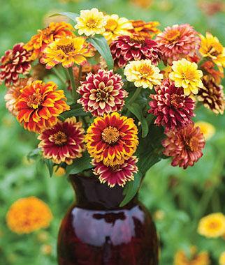 Zinnia, Jazzy Mix 1 Pkt. (50 seeds) Annuals, Annual, Annual Flowers, Annual Flower Seeds, Seeds, Flower Seeds, Cottage Garden Flowers