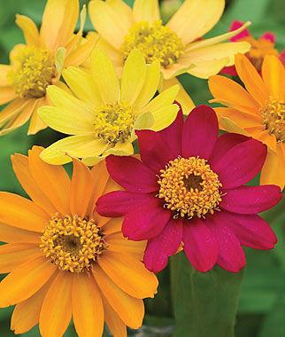 Zinnia, Pinwheel Mix 1 Pkt. (50 seeds) Annuals, Annual, Annual Flowers, Annual Flower Seeds, Seeds, Flower Seeds, Cottage Garden Flowers