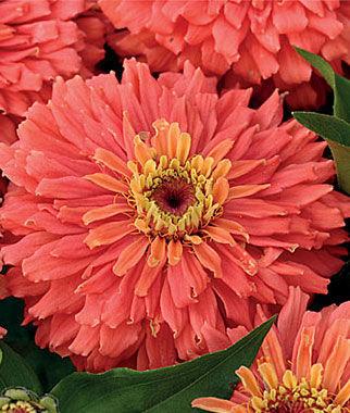 Zinnia, Senora 1 Pkt. (50 seeds) Annuals, Annual, Annual Flowers, Annual Flower Seeds, Seeds, Flower Seeds, Cottage Garden Flowers