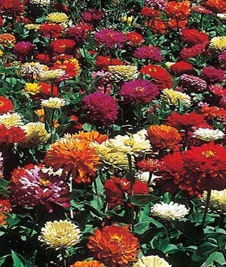 Zinnia, State Fair Mix 1 Pkt. (60 seeds) Annuals, Annual, Annual Flowers, Annual Flower Seeds, Seeds, Flower Seeds, Cottage Garden Flowers