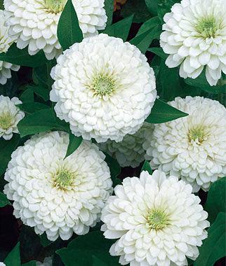 Zinnia, White Wedding 1 Pkt. (30 seeds) Annuals, Annual, Annual Flowers, Annual Flower Seeds, Seeds, Flower Seeds, Cottage Garden Flowers
