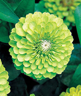 Zinnia, Tequila Lime 1 Pkt. (50 seeds) Annuals, Annual, Annual Flowers, Annual Flower Seeds, Seeds, Flower Seeds, Cottage Garden Flowers
