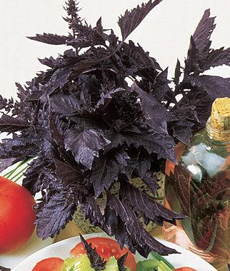 Basil, Purple Ruffles 1 Pkt. (100 seeds) Basil Seeds, Basil Plants, Basil Starts, Herb Seeds, Herb Plants, Garden Seed, Vegetable Seeds