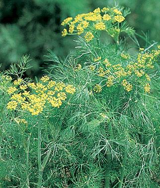 Dill, Fernleaf 1 Pkt. (400 seeds) Dill, Dill Seed, Dill Seeds, Herbs, Herb Seeds, Garden Seeds, Vegetable Seeds, Seeds