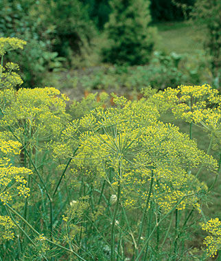 Dill, Mammoth 3 Plants Dill, Dill Seed, Dill Seeds, Herbs, Herb Seeds, Garden Seeds, Vegetable Seeds, Seeds