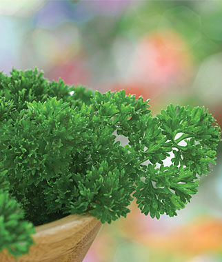 Parsley, Extra Curled Dwarf 1 Pkt. (850 seeds) Parsley Seeds, Parsley Seed, Parsley, Italian Parsley, Garden Seeds, Herb Seeds, Vegetable Seeds