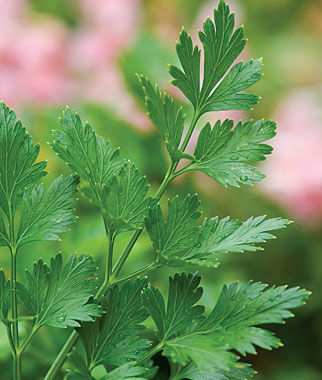 Parsley, Single Italian Or Plain 3 Plants Parsley Seeds, Parsley Seed, Parsley, Italian Parsley, Garden Seeds, Herb Seeds, Vegetable Seeds