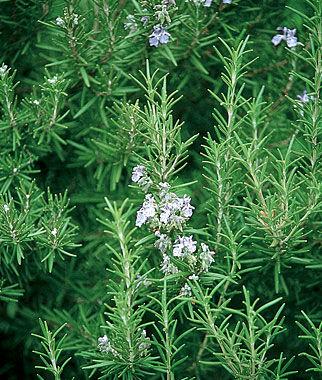 Rosemary 1 Pkt. (100 seeds) Rosemary Seeds, Rosemary Plants, Rosemary Starts, Rosemary, Herb Seeds, Herb Plants, Garden Seeds