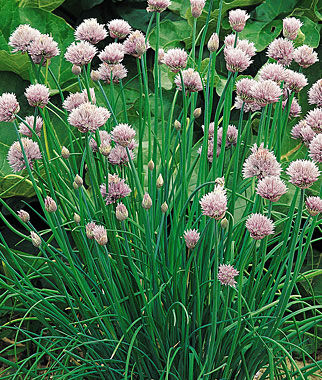 Chives, Common Organic 1 Pkt. (500 seeds) Chives, Garlic Chives, Chive plants, Chive Seeds, Herbs, Herb Seeds, Garden Seeds, Vegetable Seeds