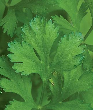 Cilantro (Coriander) Organic 1 Pkt. (150 seeds) Cilantro Seeds, Coriander Seeds, Cilantro, Coriander, Herb Seeds, Garden Herbs, Garden Seeds