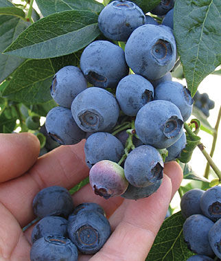 Blueberry, Blueray 2 Bare Root Plants Blueberry Plants, Blueberries, Berry Plants, Fruit Plants, Fruit Garden, Berry Garden, Garden Plants