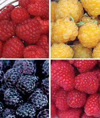 Raspberry, Favorite Collection 12 Bare Root Plants Raspberries, Raspberry, Raspberry Plants, Raspberry Roots, Berry Plants, Berry Garden, Fruit Garden