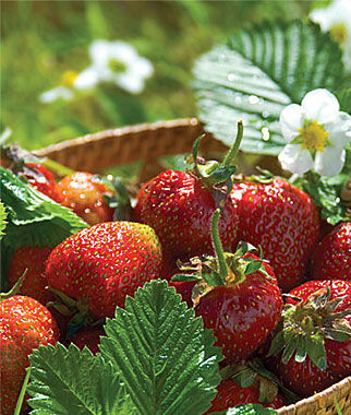 Strawberry, Jewel 25 Bare Root Plants Strawberries, Strawberry Plants, Strawberry Starts, Strawberry Roots, Strawberry, Garden Plants