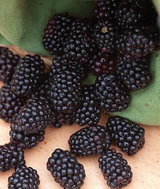 Blackberry, Triple Crown 5 Bare Root Plants Blackberry, Blackberries, Blackberry Plants, Blackberry Roots, Blackberry Starts, Berry Plants