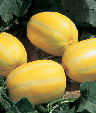 Melon, Early Silverline 1 Pkt. (30 seeds)