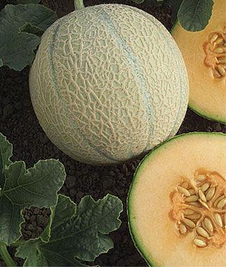 Melon, Isabella 1 Pkt. (25 seeds)