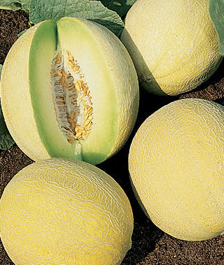 Melon, Venus Hybrid (Honey Dew) 1 Pkt. (30 seeds)
