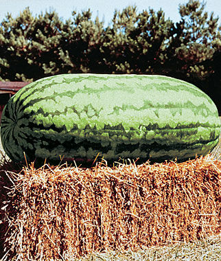 Watermelon, Carolina Cross #183 Heirloom 1 Pkt. (25 seeds)