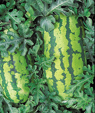 Watermelon, Georgia Rattlesnake 1 Pkt. (30 seeds)