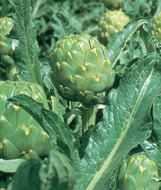Artichoke, Imperial Star Hybrid 1 Pkt. (25 seeds) Artichoke Seeds, Artichoke Plants, Artichoke, Seeds, Garden Seeds, Vegetable Seeds, Garden Supplies