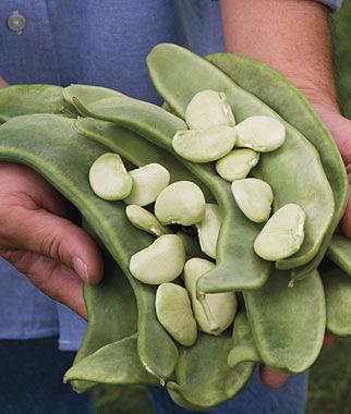 Bean Lima, Big Mama Pkt. (3 oz, 85 seeds) Bean Seeds, Pole Beans, Bean - Pole, Vegetable Seeds, Garden Seeds, Seeds, Garden Supplies