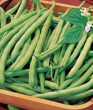 Bean, Bush Heavyweight II 1 Pkt. (2 oz.) Bean Seeds, Bush Beans, Beans - Bush, Bush Bean Seeds, Vegetable Seeds, Garden Seeds, Vegetable Seed