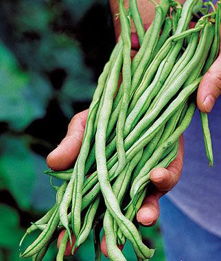 Bean, Fortex 1 Pkt. (2 oz.) Bean Seeds, Pole Beans, Bean - Pole, Vegetable Seeds, Garden Seeds, Seeds, Garden Supplies
