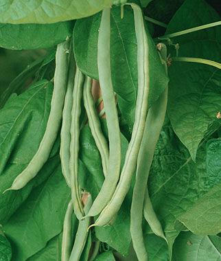 Bean, Kentucky Wonder Pole 1 Pkt. (3 oz.) Bean Seeds, Pole Beans, Bean - Pole, Vegetable Seeds, Garden Seeds, Seeds, Garden Supplies