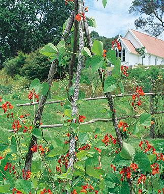 Bean, Scarlet Runner Pole 1 Pkt. (1.5 oz.) Bean Seeds, Pole Beans, Bean - Pole, Vegetable Seeds, Garden Seeds, Seeds, Garden Supplies