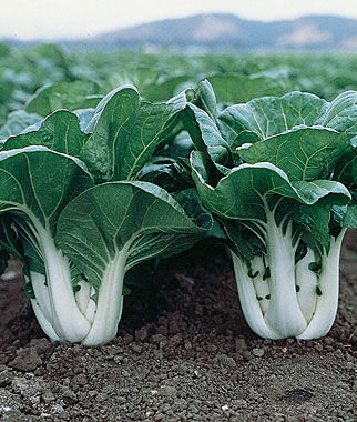 Chinese Cabbage, Pak Choi, Joi Choi Hybrid 1 Pkt. (200 seeds) Asian Greens Seeds, Oriental Vegetables, Chinese, Japanese, Thai, Vietnamese, Cookbooks, Kitchen