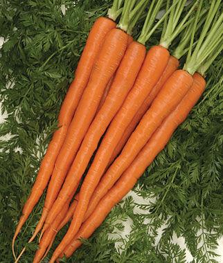 Carrot, Sugarsnax Hybrid 1 Pkt. (500 seeds)