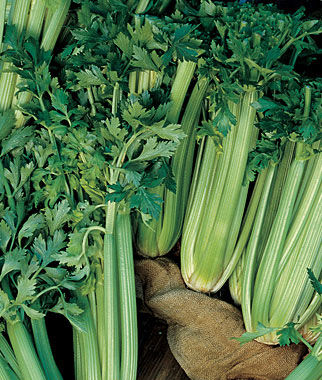 Celery, Tall Utah 52-70R Improved 1 Pkt. (750 seeds) Celery Seeds, Celeriac Seeds, Herb Seeds, Garden Seeds, Vegetable Seeds, Celery, Celeriac