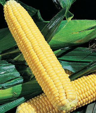 Corn, Early Xtra-Sweet Hybrid 1 Pkt. (200 seeds) Corn Seeds, Corn Seed, Seed Corn, Corn, Sweet Corn Seeds, Super Sweet Corn Seeds, Garden Seeds