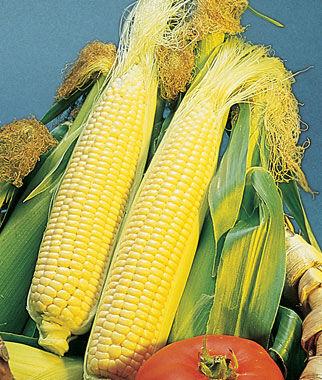 Corn, Golden Bantam Organic 1 Pkt. (95 seeds) Corn Seeds, Corn Seed, Seed Corn, Corn, Sweet Corn Seeds, Super Sweet Corn Seeds, Garden Seeds