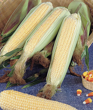 Corn, Kandy Korn (SE) Hybrid 1 Pkt. (100 seeds) Corn Seeds, Corn Seed, Seed Corn, Corn, Sweet Corn Seeds, Super Sweet Corn Seeds, Garden Seeds