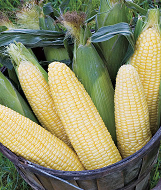 Corn, Maple Sugar Hybrid 1 Pkt. (100 seeds) Corn Seeds, Corn Seed, Seed Corn, Corn, Sweet Corn Seeds, Super Sweet Corn Seeds, Garden Seeds