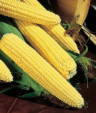 Corn, Northern Xtra-Sweet Hybrid 1 Pkt. (200 seeds) Corn Seeds, Corn Seed, Seed Corn, Corn, Sweet Corn Seeds, Super Sweet Corn Seeds, Garden Seeds