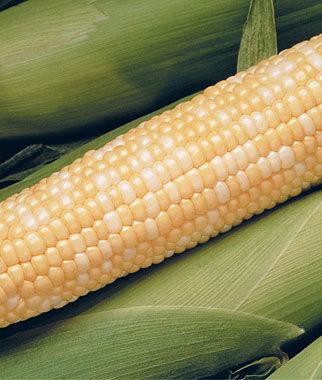 Corn, Peaches & Cream Hybrid 1 Pkt. (200 seeds) Corn Seeds, Corn Seed, Seed Corn, Corn, Sweet Corn Seeds, Super Sweet Corn Seeds, Garden Seeds