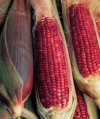 Corn, Ruby Queen Hybrid 1 Pkt. (200 seeds) Corn Seeds, Corn Seed, Seed Corn, Corn, Sweet Corn Seeds, Super Sweet Corn Seeds, Garden Seeds
